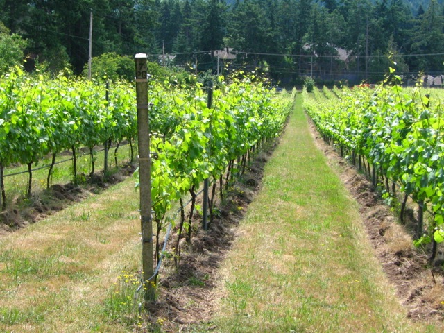 Vines at Mistaken Identity Vineyards